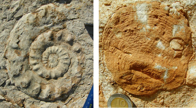 On the left is a very large ammonite we found in the top of the Zohar Formation.  Note the hammer for scale.  On the right is a closer view of a partially silicified coral from the top of the Beersheva with holes drilled in it by bivalves, some of which are still in place.