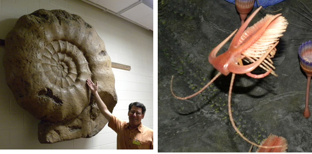 On the left is a giant ammonite we found mounted in a dim hallway.  They are usually about the size of a fist!  On the right is part of the Burgess Shale diorama showing the ubiquitous Marella.