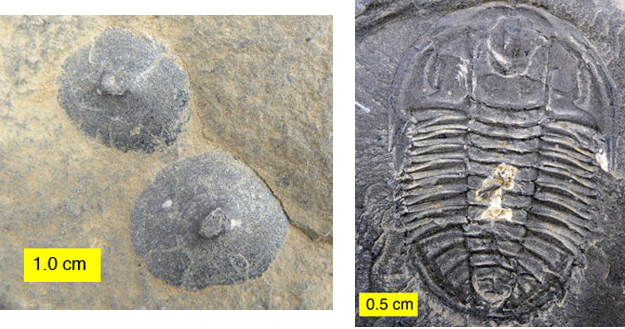 The primitive mollusc Scenella on the left and a trilobite on the right. The Burgess Shale fauna has plenty of skeletonized fauna along with the soft-bodied forms.