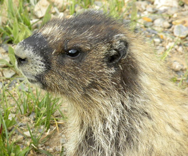 A marmot on the banks of Helen Lake.  Not at all camera shy, this little guy.