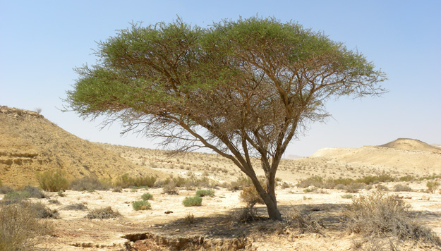 One of the very few trees in Makhtesh Gadol.  This is an acacia.