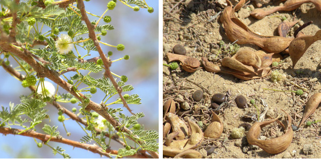 Leaves and flowers of the acacia tree shown above (left); beans and their pods on the ground beneath the tree.