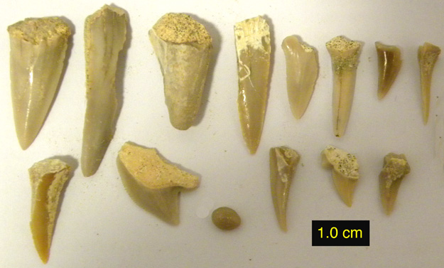 Cretaceous shark teeth collected from just north of Makhtesh Ramon (N30.56235°, E34.64876°).