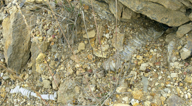 Molted skin layer from a rattlesnake apparently in the cavity underneath the rock.
