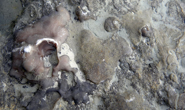 Bryozoans encrusting a side of the block above. The beautiful pinkish bryozoan on the left is the holdfast of a ptilodictyoid which in life held an erect bifoliate portion of the colony. The field of view here is about 10 cm wide.