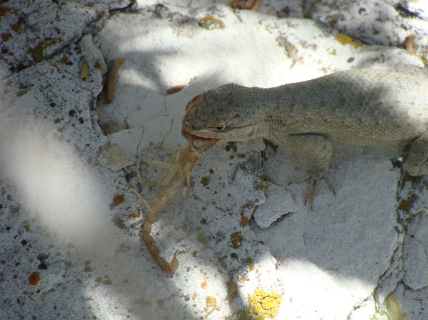 Our fierce lizard scrambled to a nearby rock to celebrate its find.  Sadly, the scorpion had no chance.