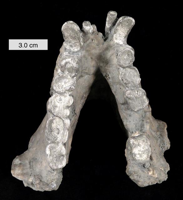 Gigantopithecus_blacki_mandible_010112