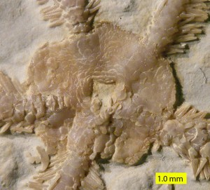 Ophiopetra lithographica aboral 010813_585