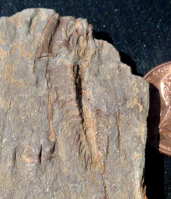TrilobiteWhole031413