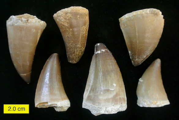 PrognathodonTeethKhouribgaCretaceous