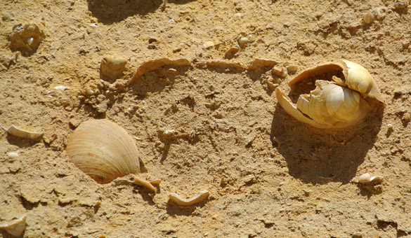 10. Altavilla Milicia fossils 060813