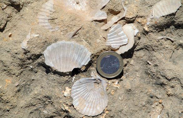 3.FossilScallops061613