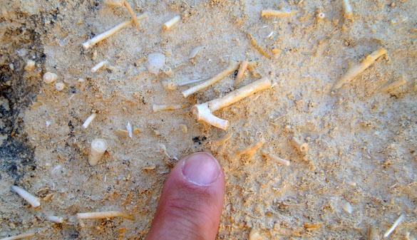 5. Pliocene marl octocorals 060913