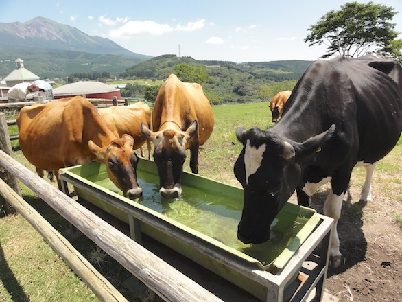 Takachiho Farm is an operating agricultural facility where visitors can milk cows and pet sheep.