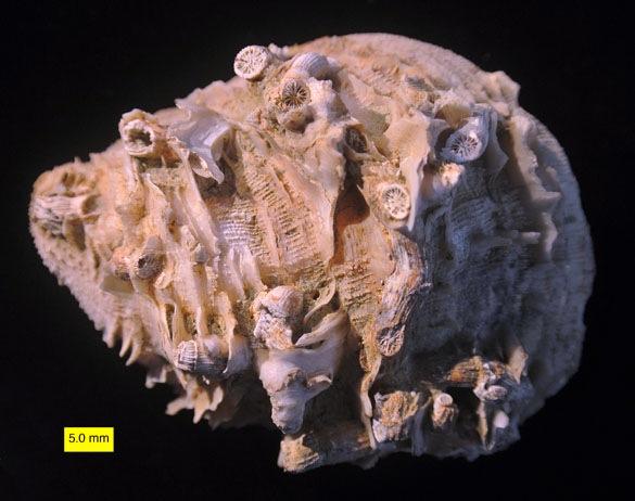 CladocoraSpondylus_585