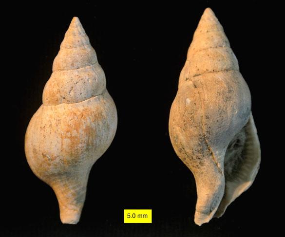 Euthria Gray 1850 Pliocene Cyprus_585