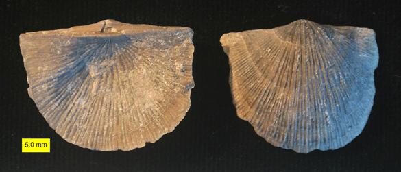 Stropheodonta demissa 585