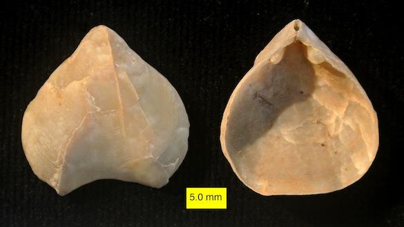 Terebratulid Pliocene Cyprus