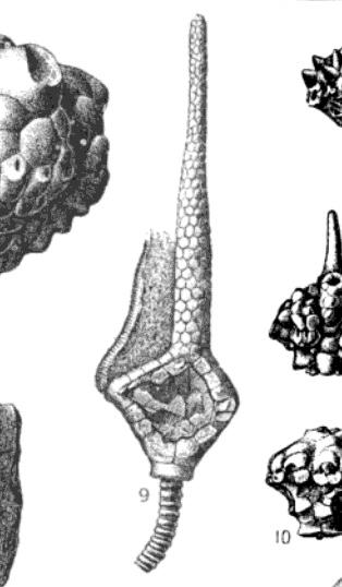 Macrocrinus verneuilianus (Shumard, 1855) diagram