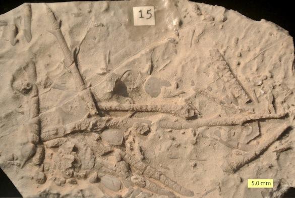 Bird Spring Echinoid Carboniferous KC33 585