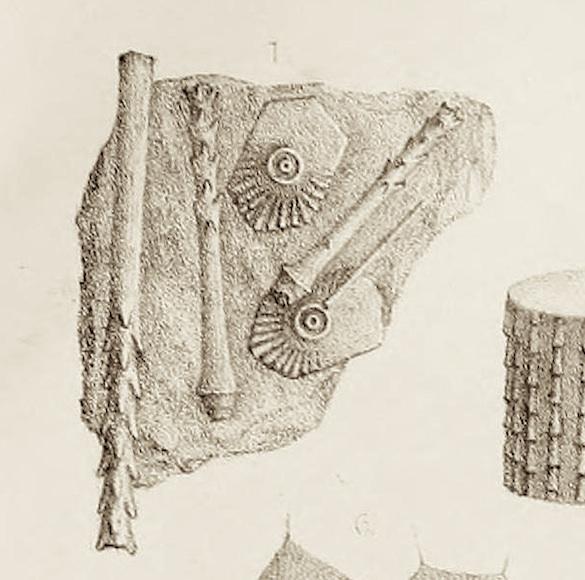 Echinocrinus urii pl XXVII 1 M'Coy 1844