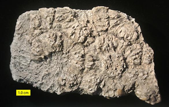Glyptodon carapace fragment Pleistocene 585