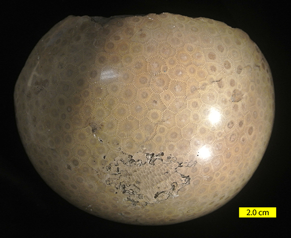 Hexagonaria percarinata colony view