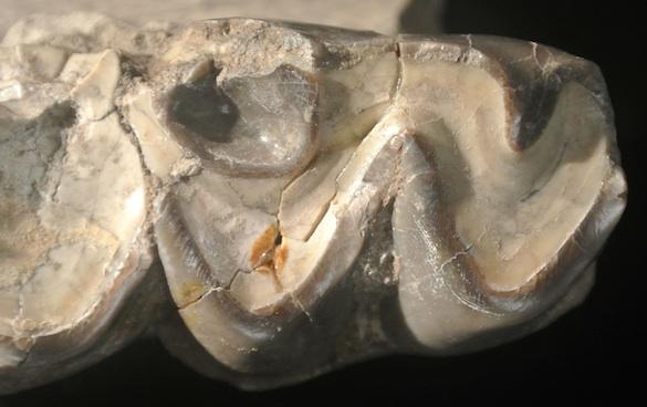 Titanotherium proutii occlusal