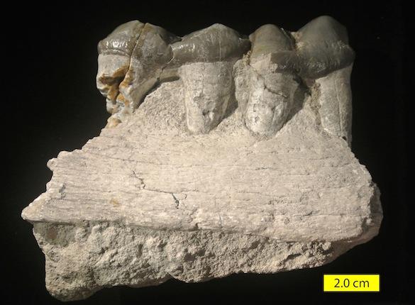 Titanotherium proutii
