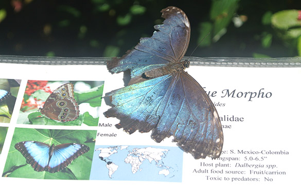 5 Morpho on guidebook