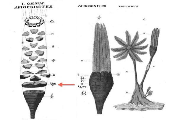Composite Miller Apiocrinites arrowed