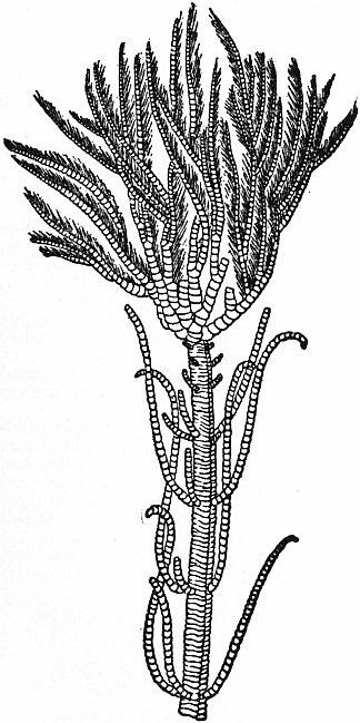 Isocrinus asteria