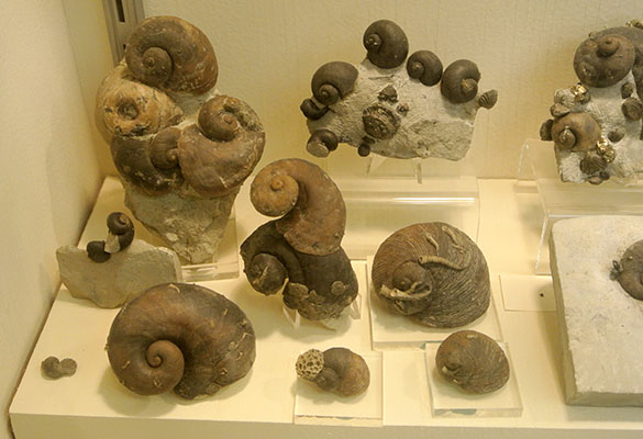 Platyostoma collection displayed