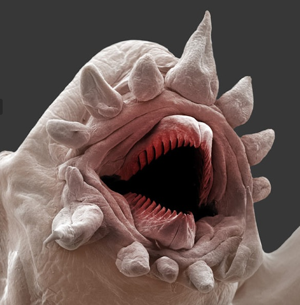 Polychaete mouth