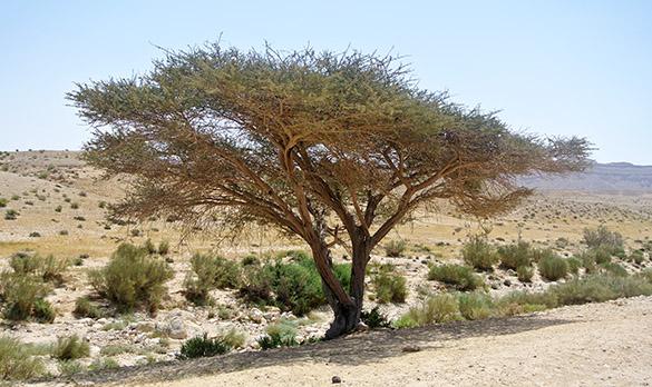 Acacia close 041714