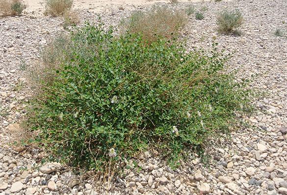 Capparis spinosa wadi 040914