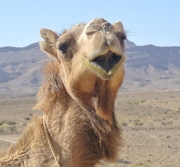 camel head 041814