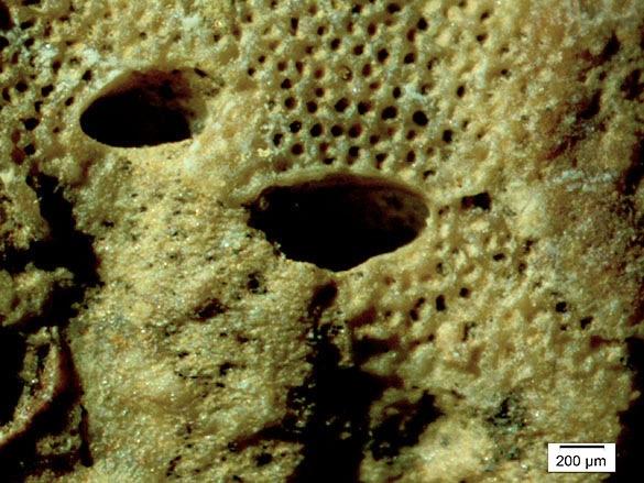 Barnacle boring bioclaustration 3