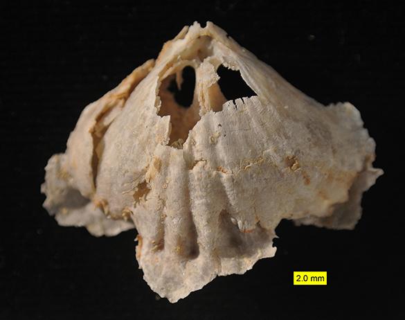 Rhynchonellid Permian Texas 585