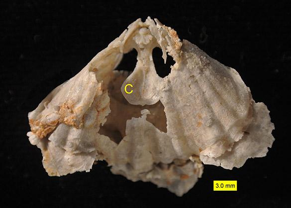 Rhynchonellid crura Permian Texas 585