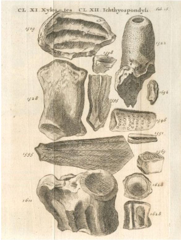 Corynella in Lhwyd plate 18