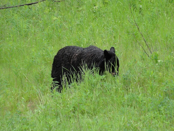 Most of the bears that we saw were black bears eating the fresh grass alongside the road.