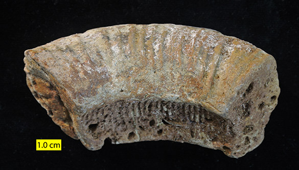 Faringdon ammonite sm