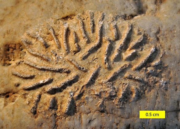 Reptoclausa hagenowi Cretaceous England 071714