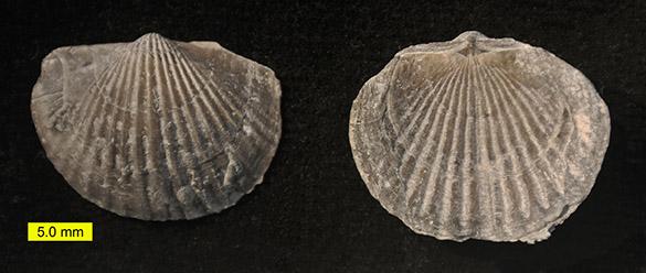 Tropidoleptus carinatus 585