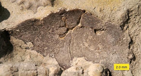 3 Bryozoan underside