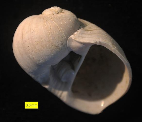 Naticarius millepunctatus Pliocene Cyprus