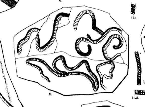 Taenidium serpentinum Heer, 1877 image 585