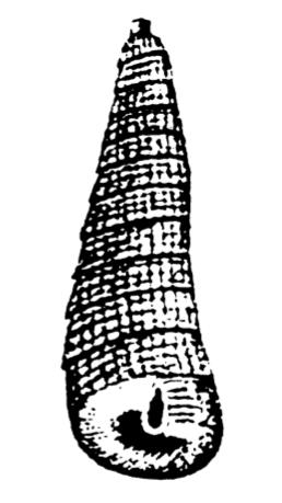 LeaPetaloconchus