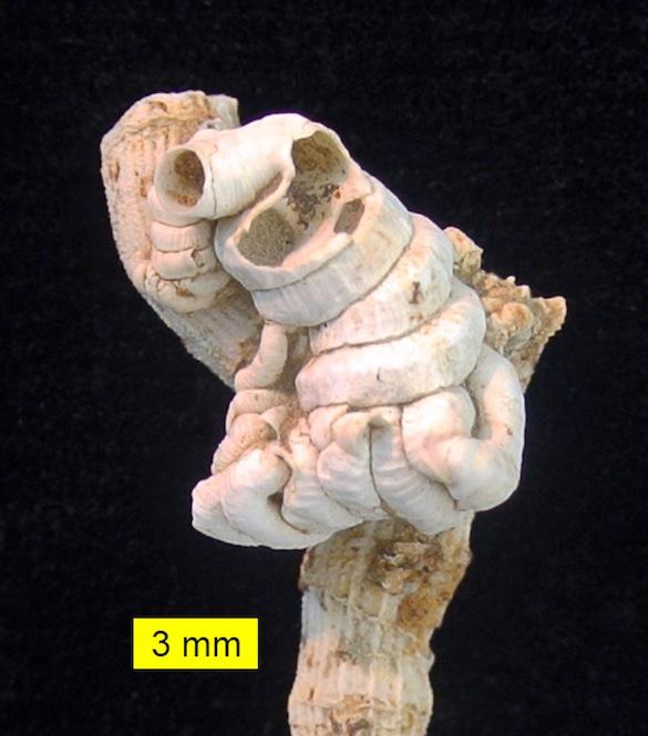 Petaloconchus Cyprus Pliocene 585